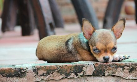 Chihuahua foto gallery