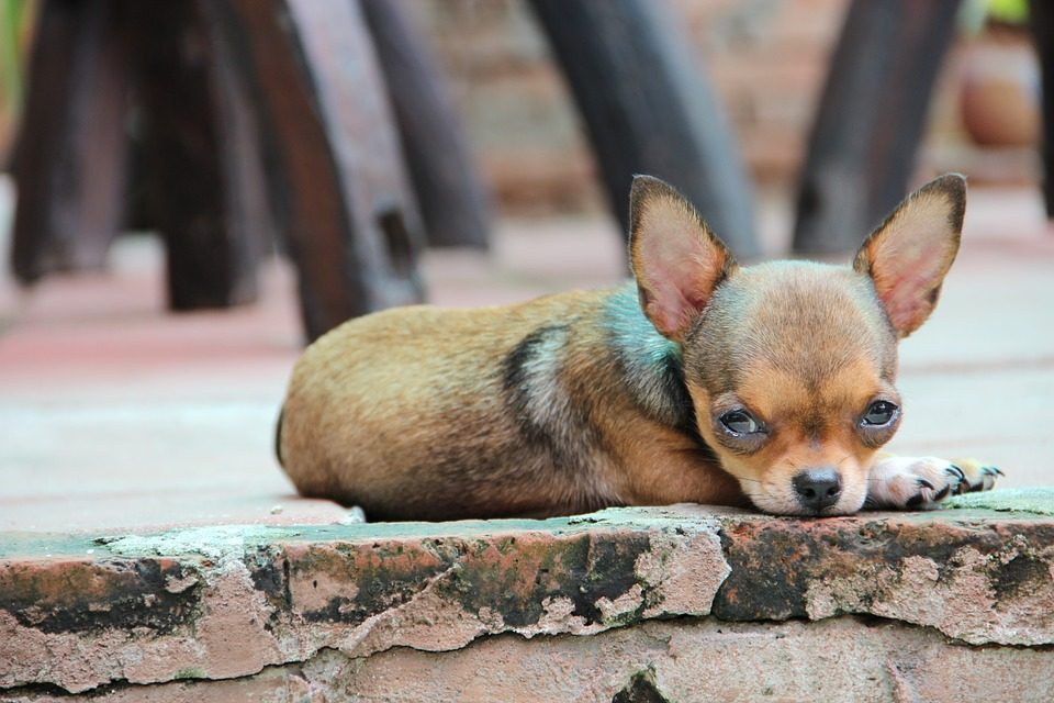 Chihuahua foto gallery