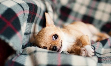 Chihuahua training en opvoeding
