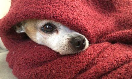 Wat moet je weten over de Chihuahua?