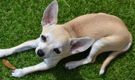 Wat zijn de kosten van een Chihuahua?