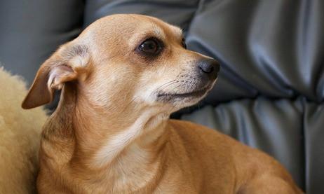 Welke producten zijn er voor uw Chihuahua?