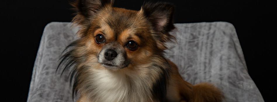 Langhaar of korthaar Chihuahua?